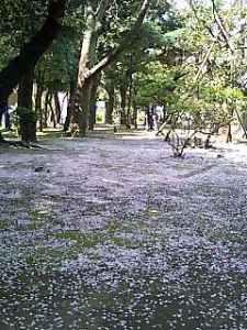 桜絨毯1.jpg